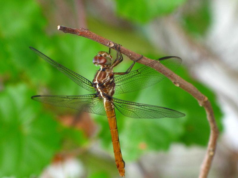 Roseate Skimmer - female