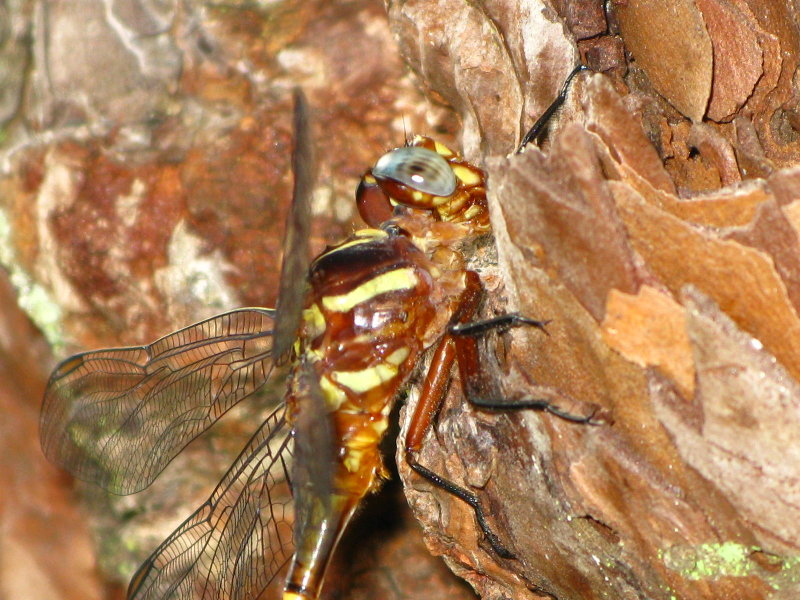 Two-striped Forceptail close up