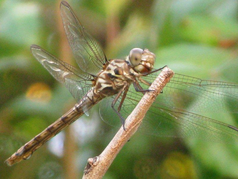 Roseate Skimmer female