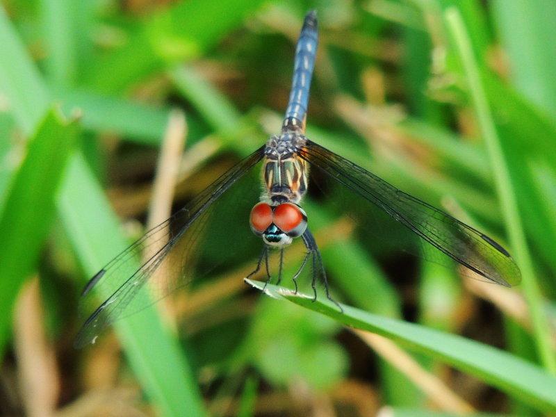 Blue Dasher  Juvenile male