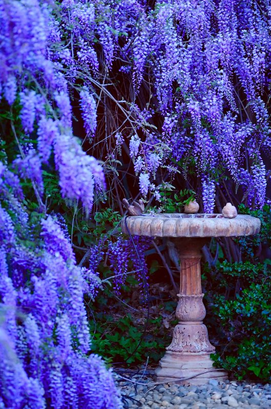 D3B_3774BackYardWisteria1.jpg