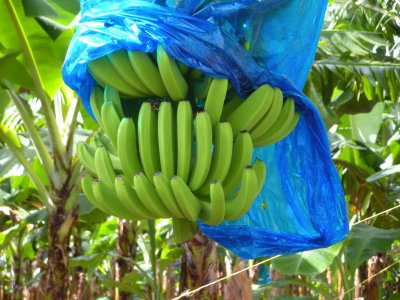 Banannas growing on St. Lucia