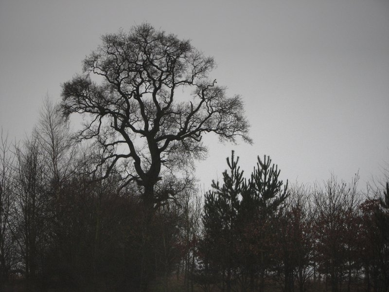 Stand 0f trees Oxfordshire.jpg