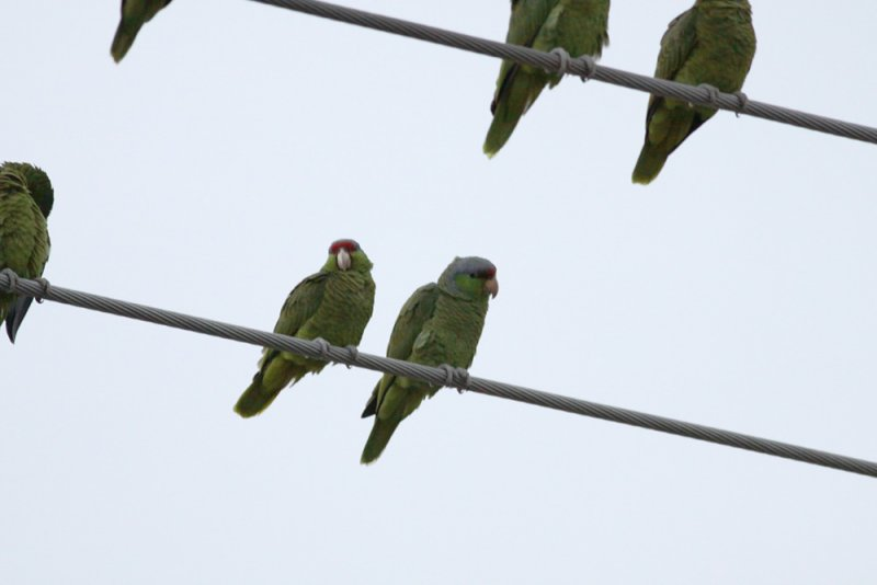 Red-crowned & Lilac-crowned Parrots
