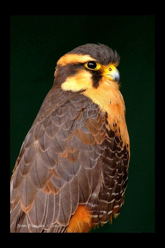 Renaissance Festival Bird of Prey