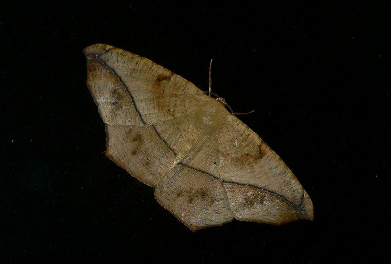 Large Maple Spanworm - <i>Prochoerodes lineola</i>
