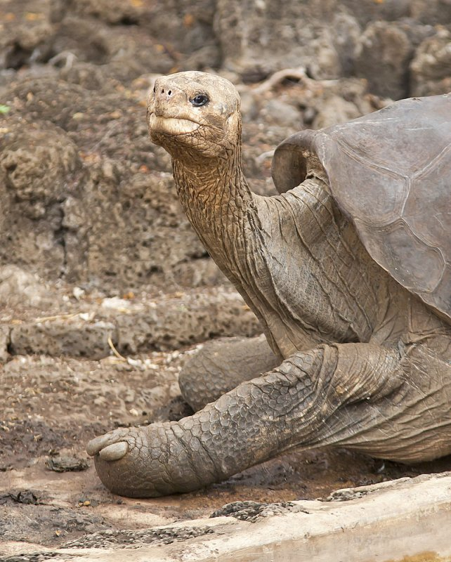 Galapagos Giant Tortoise - Lonesome George