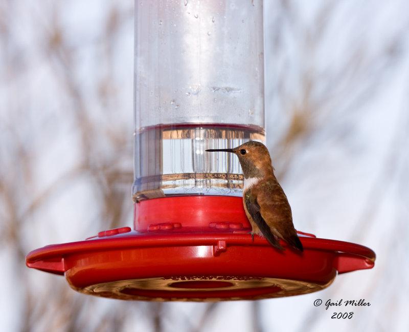 12/07/2008 Rufous Hummingbird3.jpg