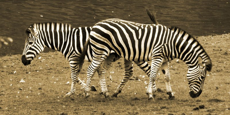 Zebras crossing! (2405)
