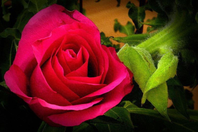 Deep red rose 8017)