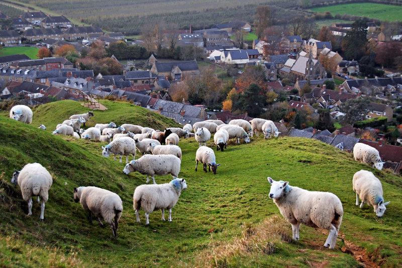 Sheep and village, Ham Hill (2637)