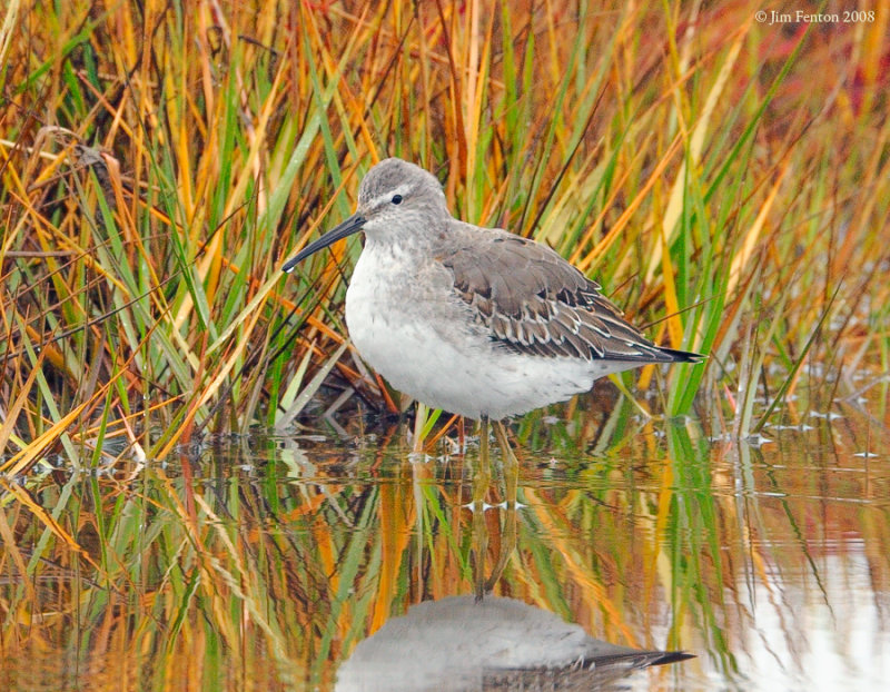 _NW80447 Stilt Sandpiper ~ Winter Plumage