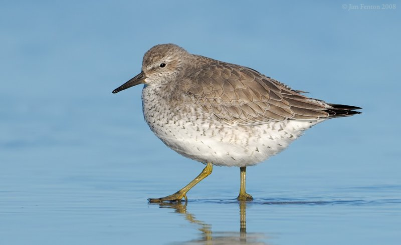 _NW83507 Red Knot.jpg