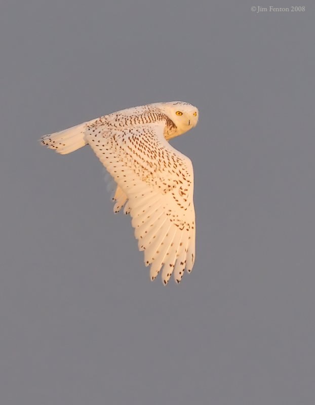 _NW83910 Snowy Owl Flight.jpg