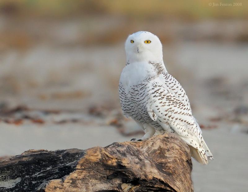 _NW83967 Snowy Owl.jpg