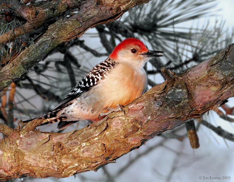 _NW85968 Red  Bellied Woodpecker at Dawn