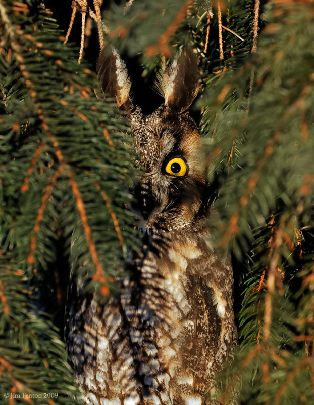 _NW86115 Long Eared Owl Hidden