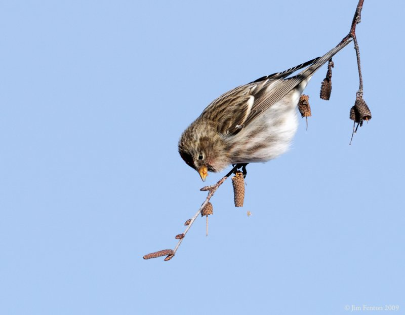 _NW86200 Common Redpoll