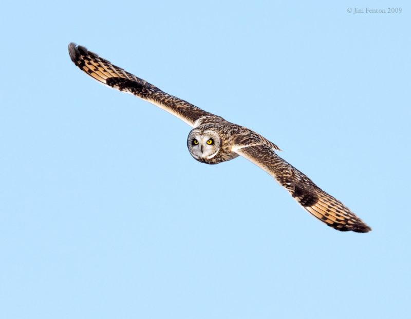 _NW86586 Short Eared Owl in Flight