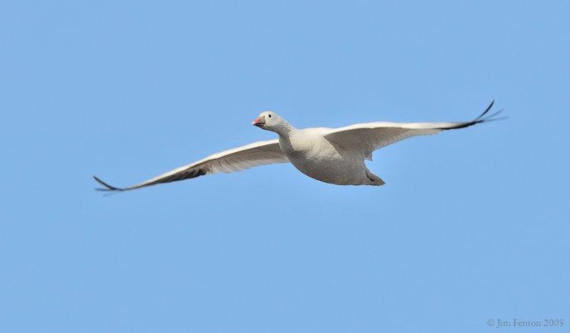 _NW91684 Rosss Goose in Flight.jpg
