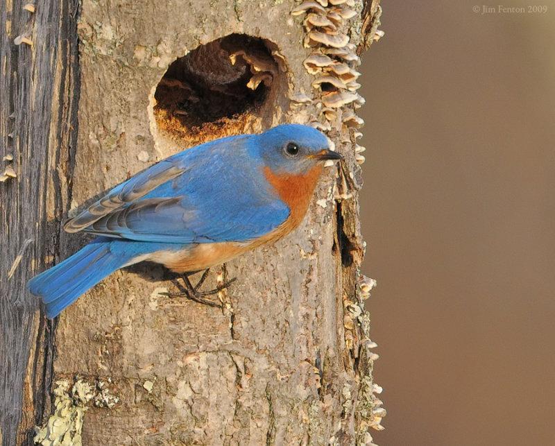 _NW91992 Eastern Bluebird