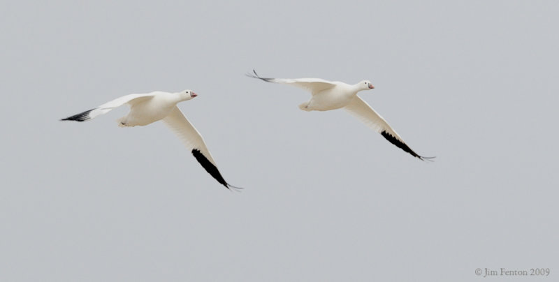_NW92050 Rosss Goose in Flight.