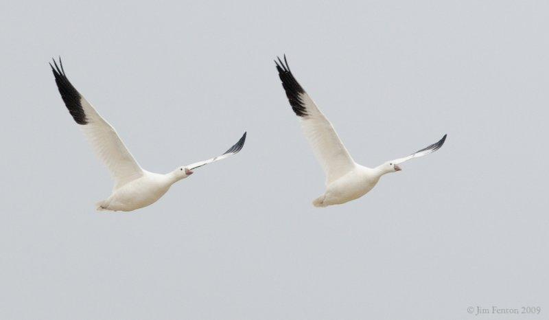 _NW92051 Rosss Goose in Flight.