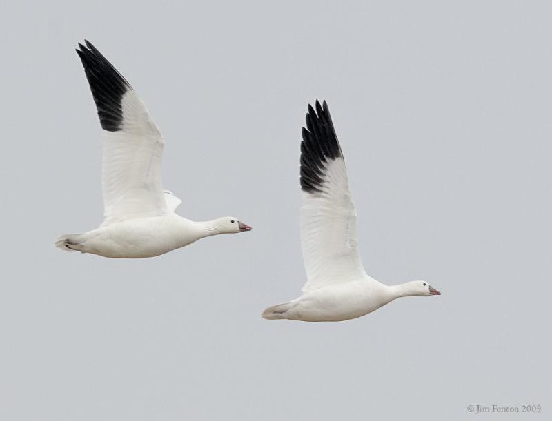 _NW92061 Rosss Goose in Flight.