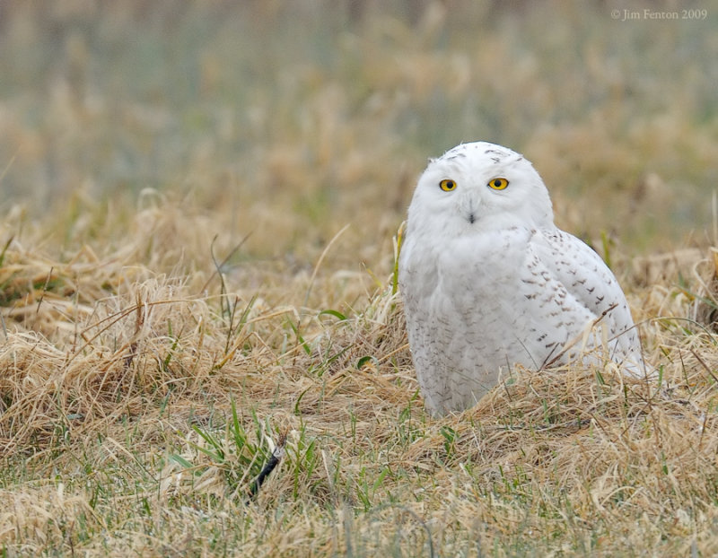 _NW92408 Snowy Owl in Grass.jpg