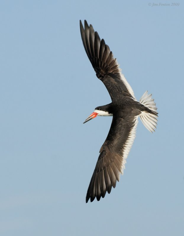 _NW98650 Black Skimmer Male In Flight.jpg