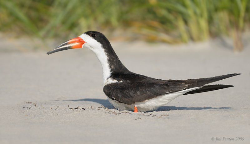_NW98783 Black Skimmer female Settling Onto Nest.jpg