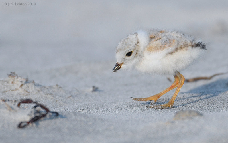 _NW07596 Piping Plover Chick Seeking Food
