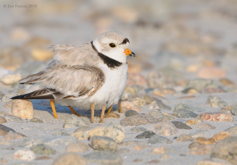 _NW07636 Piping Plover and Chicks