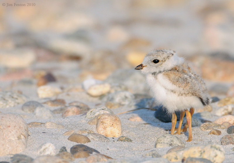 _NW07642 4 Leg Piping Plover Chick Gravel Beach :)