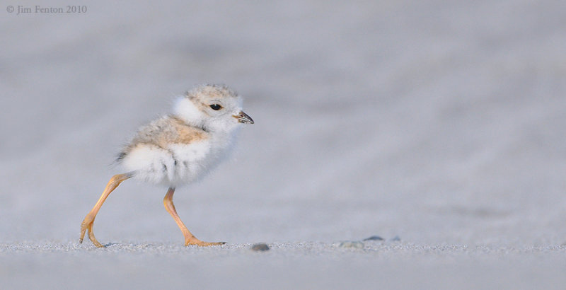 _NW07731 Piping Plover Chick Stroll