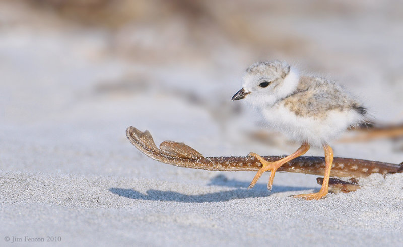 _NW07744 Piping Plover Chick on Skate Tail