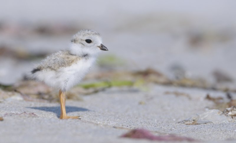 _NW07810 Piping Plover Chick Gravel Beach