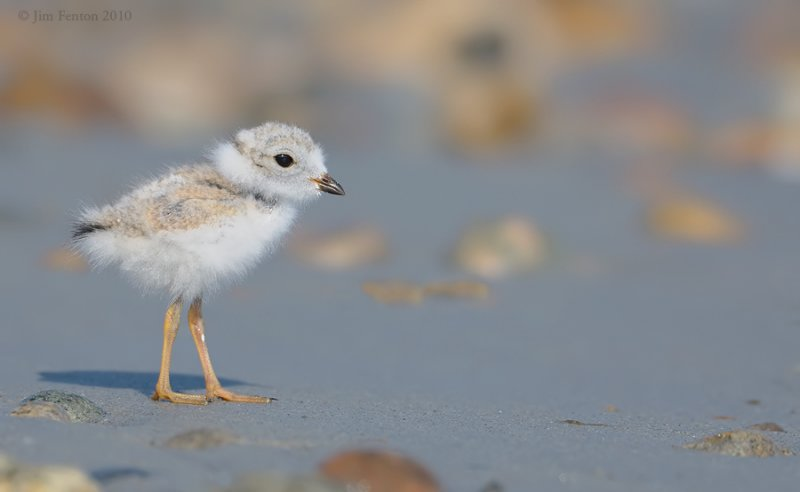 _NW07842  Piping Plover Chick Gravel Beach