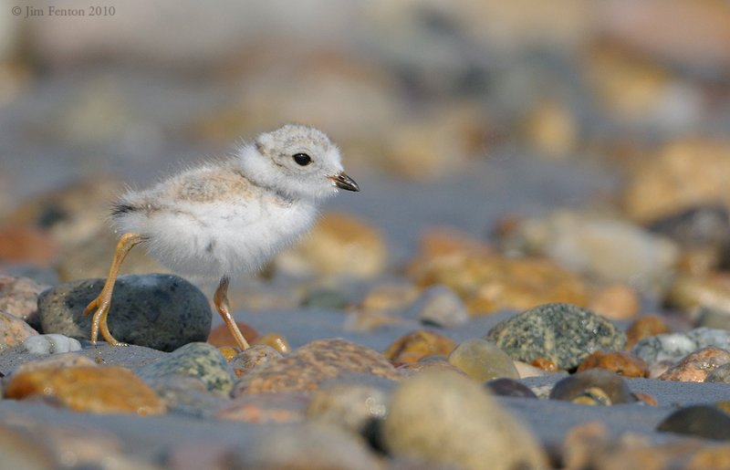 _NW07859  Piping Plover Chick Gravel Beach