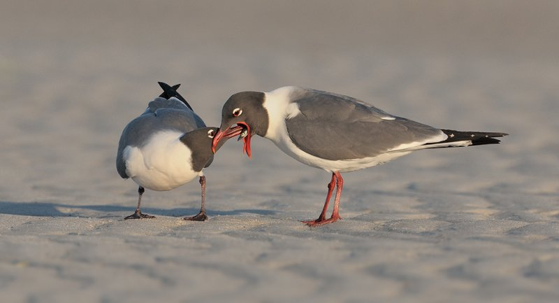 _NW02161 Laughing Gulls Pre Mating Activity