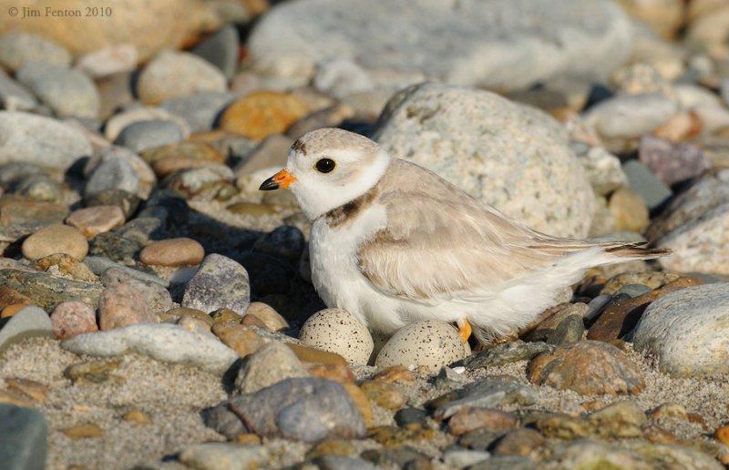 _NW02861 Piping Plover 4 Egg Nest in Gravel