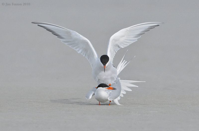 _NW04026 Common Terns breeding