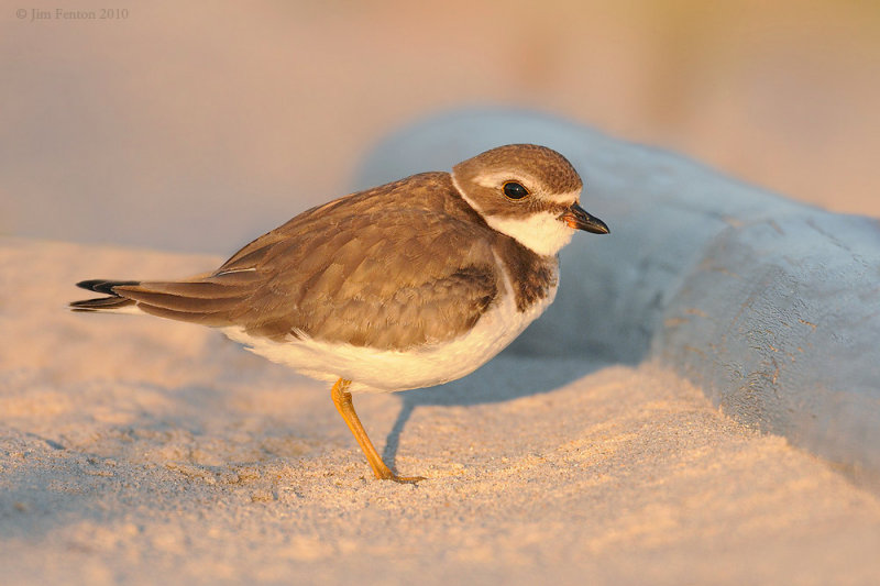 Semipalmated Plover at Last Light