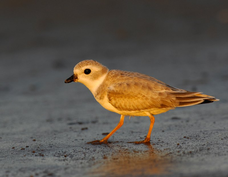 JFF1911 Piping Plover Non Breeding Plumage