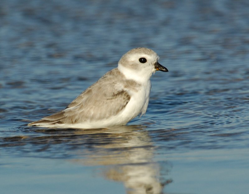 JFF1710 Piping Plover Non Breeding Plumage