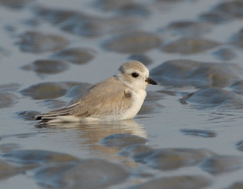 JFF3079 Piping Plover Non Breeding Plumage