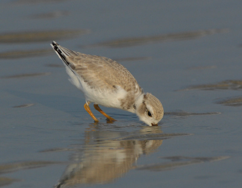 JFF3352 Piping Plover Hatch Year