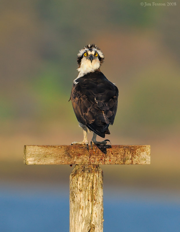 _NW84339 Male Osprey