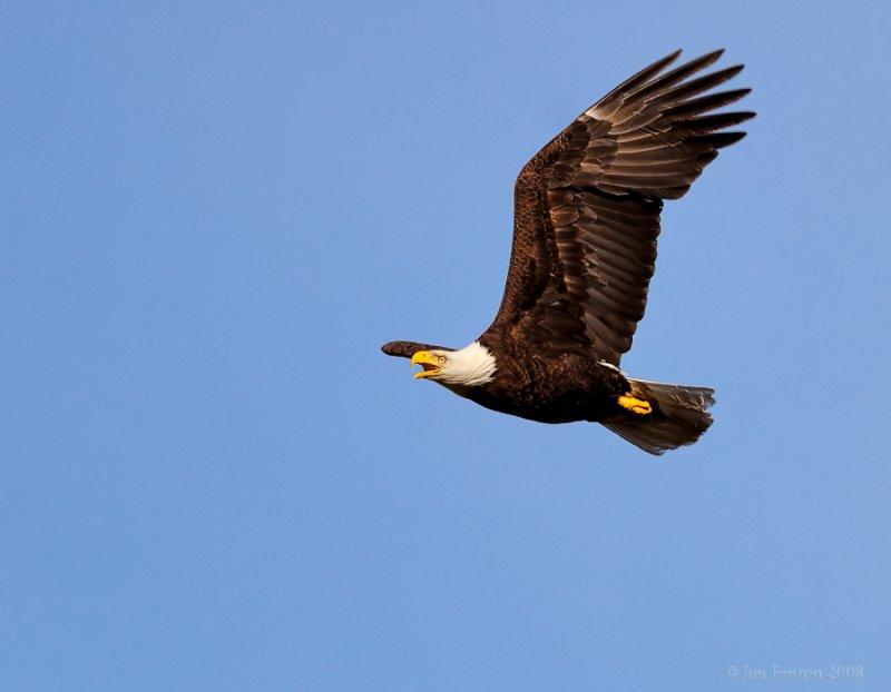 _NW83771 Bald Eagle Male in Flight