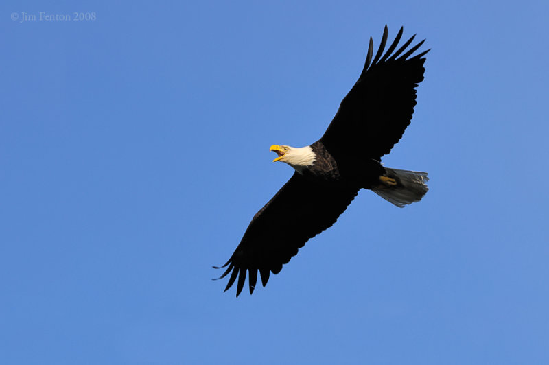 _NW83772 Bald Eagle Male in Flight